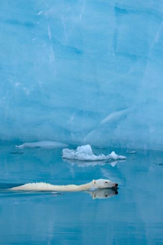 Polar Bear「Polar Bear」:スマホ壁紙(12)