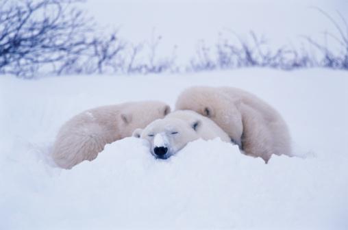 Polar Bear「Polar bear (Ursus maritimus) sleeping in snow  with two cubs」:スマホ壁紙(4)