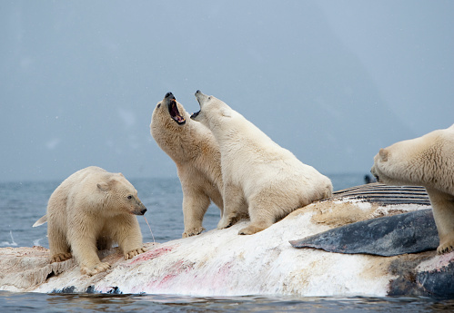 質感「Polar Bear fighting over Dead Fin Whale」:スマホ壁紙(16)
