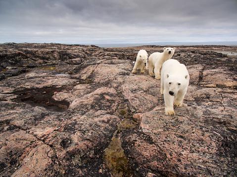 Polar Bear「Polar Bear and Cubs along Repulse Bay, Nunavut, Canada」:スマホ壁紙(2)