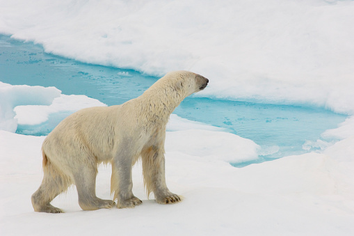 Nunavut「polar bear standing on sea ice at edge of water on arctic ocean with water and ice」:スマホ壁紙(15)