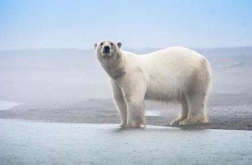 Polar Bear「Polar Bear」:スマホ壁紙(1)