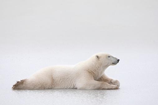 Polar Bear「Polar Bear (Ursus Maritimus) Laying On A Lake Of Ice, Churchill, Manitoba, Canada」:スマホ壁紙(9)