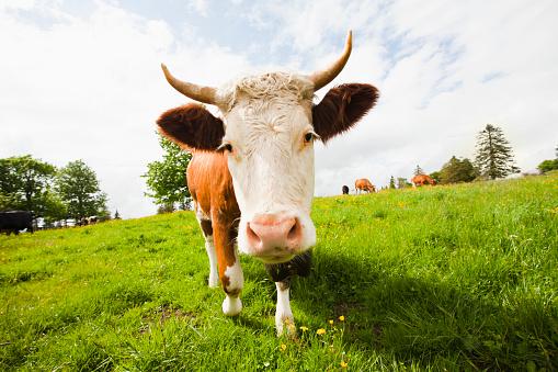 Horned「Cow standing in field」:スマホ壁紙(9)