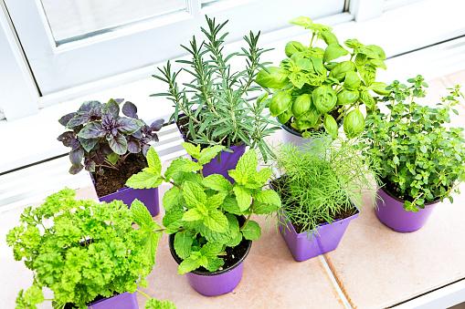 Fennel「Herb Garden Seedling Plants in Retail Containers」:スマホ壁紙(1)