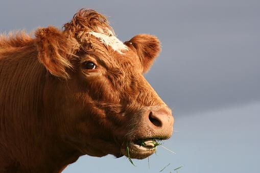 Cow「Brown cow eating grass」:スマホ壁紙(0)