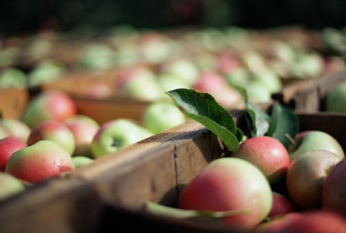 Deciduous tree「Crates of ripe apples」:スマホ壁紙(1)