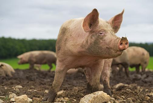 Animal Nose「Pig close-up」:スマホ壁紙(18)