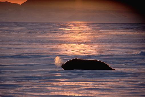 Pack Ice「Weddell Seal's Breath Freezing Under Midnight Sun」:スマホ壁紙(1)