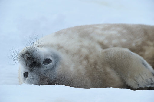 Pack Ice「Weddell Seal, Leptonychotes weddelli, lying on ice, Snow hill island, Weddell Sea, Antarctic Peninsula, Antarctica」:スマホ壁紙(14)
