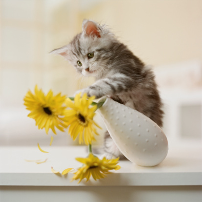 Purebred Cat「Maine Coon Kitten knocking over yellow flowers in vase」:スマホ壁紙(14)