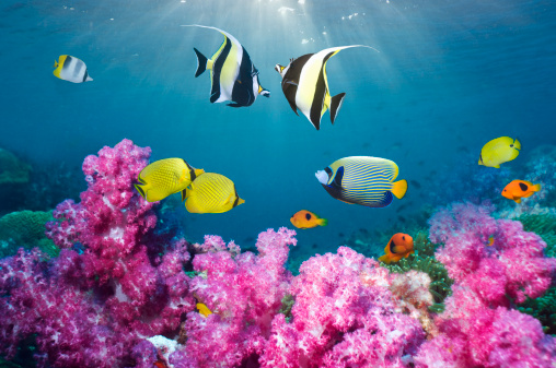 Soft Coral「Tropical reef fish over soft corals.」:スマホ壁紙(2)