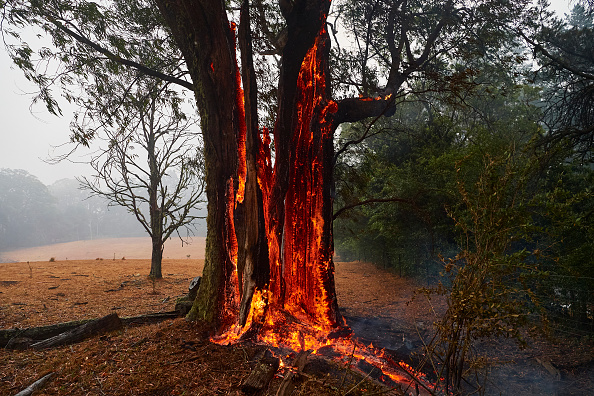 Tree「Firefighters Continue To Battle Multiple Blazes Across NSW As Army Is Called In To Assist」:写真・画像(4)[壁紙.com]