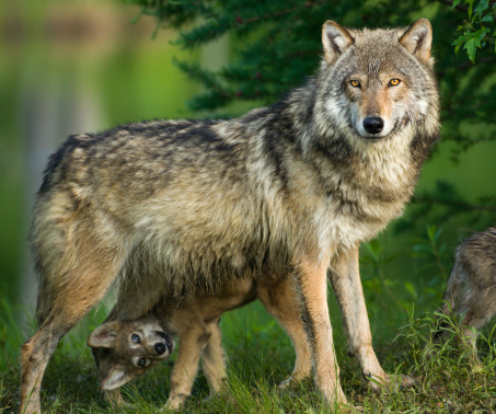 Animal Hair「Gray wolf in trees with funny pup underneath.」:スマホ壁紙(4)