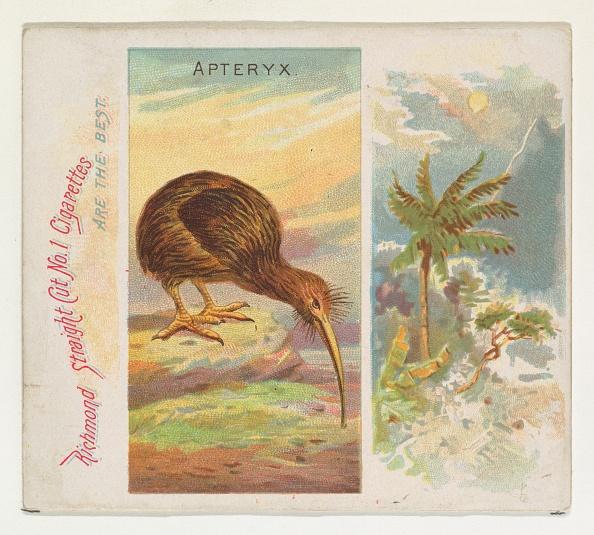 Kiwi「Apteryx」:写真・画像(2)[壁紙.com]