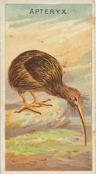 Kiwi「Apteryx」:写真・画像(1)[壁紙.com]