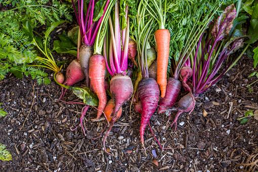 Planting「Fresh carrots in garden」:スマホ壁紙(15)