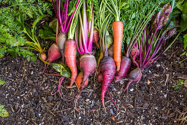 Fresh carrots in garden:スマホ壁紙(壁紙.com)