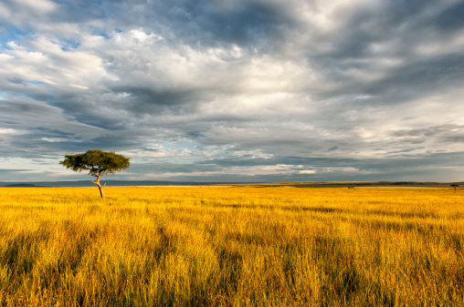 Masai Mara National Reserve「Lone acacia tree on Savannah, Kenya」:スマホ壁紙(7)