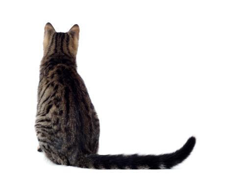 Shorthair Cat「Cute Cat」:スマホ壁紙(15)