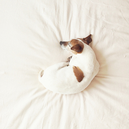 Jack Russell Terrier「Senior dog curled up on bed sleeping」:スマホ壁紙(3)
