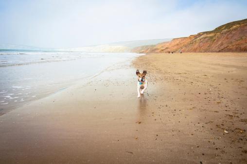 Jack Russell Terrier「Senior dog running on the beach」:スマホ壁紙(7)