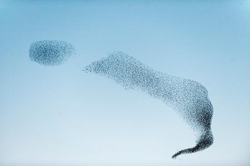 Flock Of Birds「Large Flock of Starlings flying to Roost」:スマホ壁紙(17)