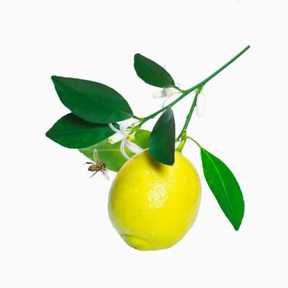 枝「Lemon on branch」:スマホ壁紙(14)
