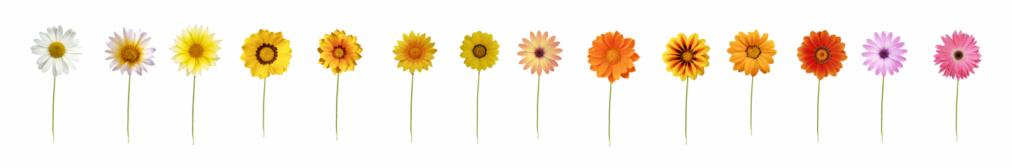 Single Flower「Fourteen daisies XXXL」:スマホ壁紙(13)