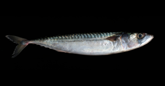 質感「Fresh Mackerel on black background」:スマホ壁紙(14)