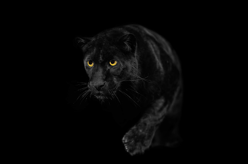 Animal Whisker「Close view of black leopard while walking.」:スマホ壁紙(0)