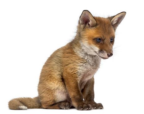 Belgium「Fox cub」:スマホ壁紙(19)