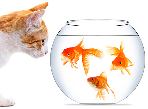 Animals In Captivity「Kitten staring at three goldfish in bowl」:スマホ壁紙(11)