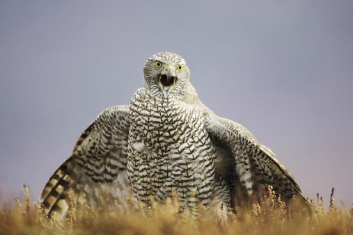 Singer「Goshawk, Accipiter gentilis, adult calling and mantling prey on moorland, Scotland, captive-bred bird」:スマホ壁紙(10)