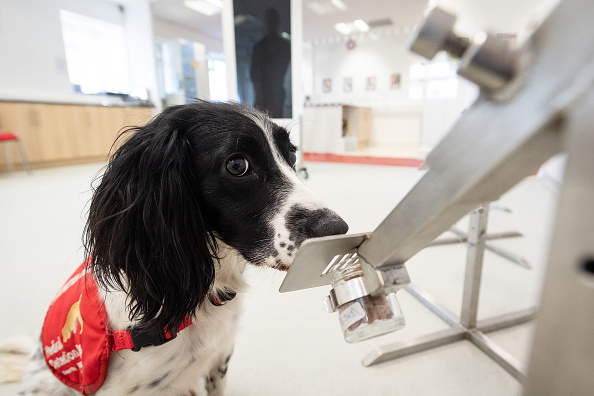Smelling「Medical Detection Dogs Are Being Re-trained To Help Identify Covid-19」:写真・画像(2)[壁紙.com]