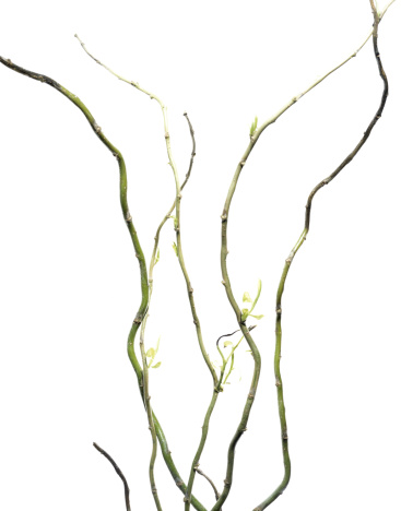 Branch - Plant Part「Sprouting stems of willow (Salix sp.)」:スマホ壁紙(13)