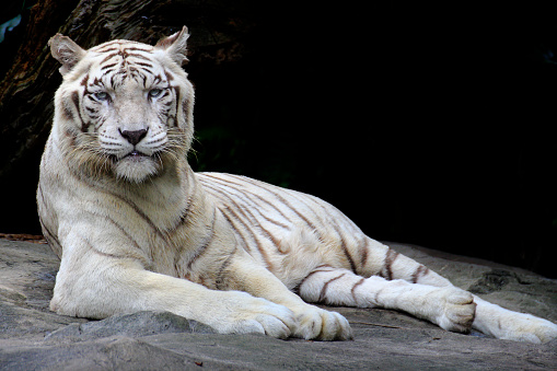 Tiger「white tiger portrait」:スマホ壁紙(6)