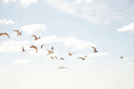 Flock Of Birds「Sea guls in flight」:スマホ壁紙(1)