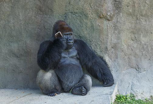 Listening「Gorilla sitting against stone wall using cell phone」:スマホ壁紙(11)