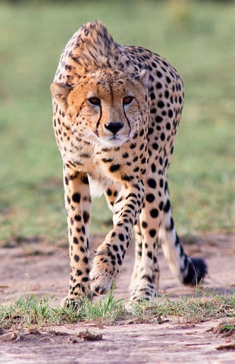Approaching「Stalking Cheetah」:スマホ壁紙(15)