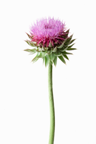 Single Object「Thistle plant」:スマホ壁紙(14)
