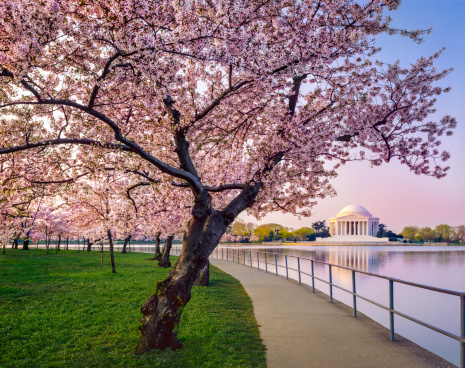 Annual Event「Washington DC cherry trees, footpath, Tidal Basin lake, Jefferson Memorial」:スマホ壁紙(12)