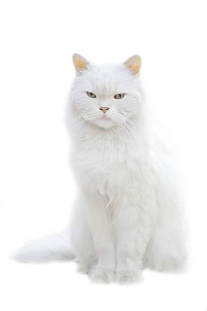 A white fluffy cat sitting isolated on white background:スマホ壁紙(壁紙.com)
