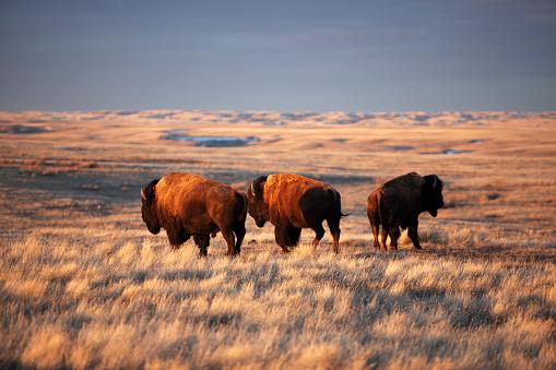 Grazing「Grasslands National Park Saskatchewan Canada」:スマホ壁紙(19)