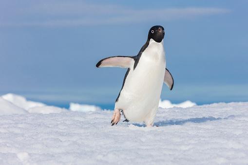 Walking「Lone adelie penguin walking」:スマホ壁紙(7)