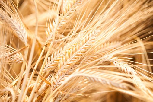 Seed「Barley」:スマホ壁紙(1)