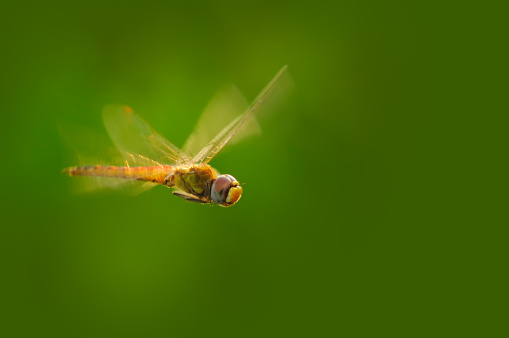 Dragonfly「Flying dragonfly in the pond」:スマホ壁紙(10)
