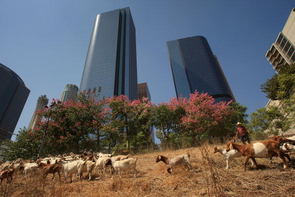 Grass「Downtown Los Angeles Lot Gets Groomed By Goats」:写真・画像(1)[壁紙.com]