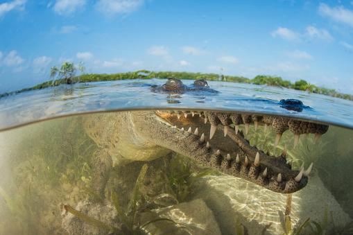 Shallow「American saltwater crocodile in mangrove off of Cuba.」:スマホ壁紙(9)