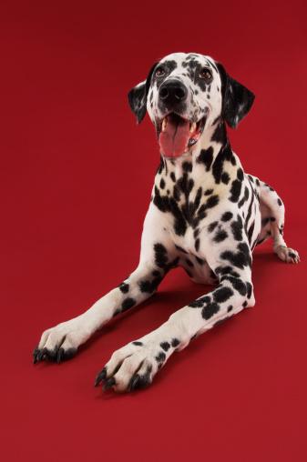 Making A Face「Dalmatian Crouching」:スマホ壁紙(9)